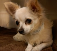 Chihuahua ready for adoption